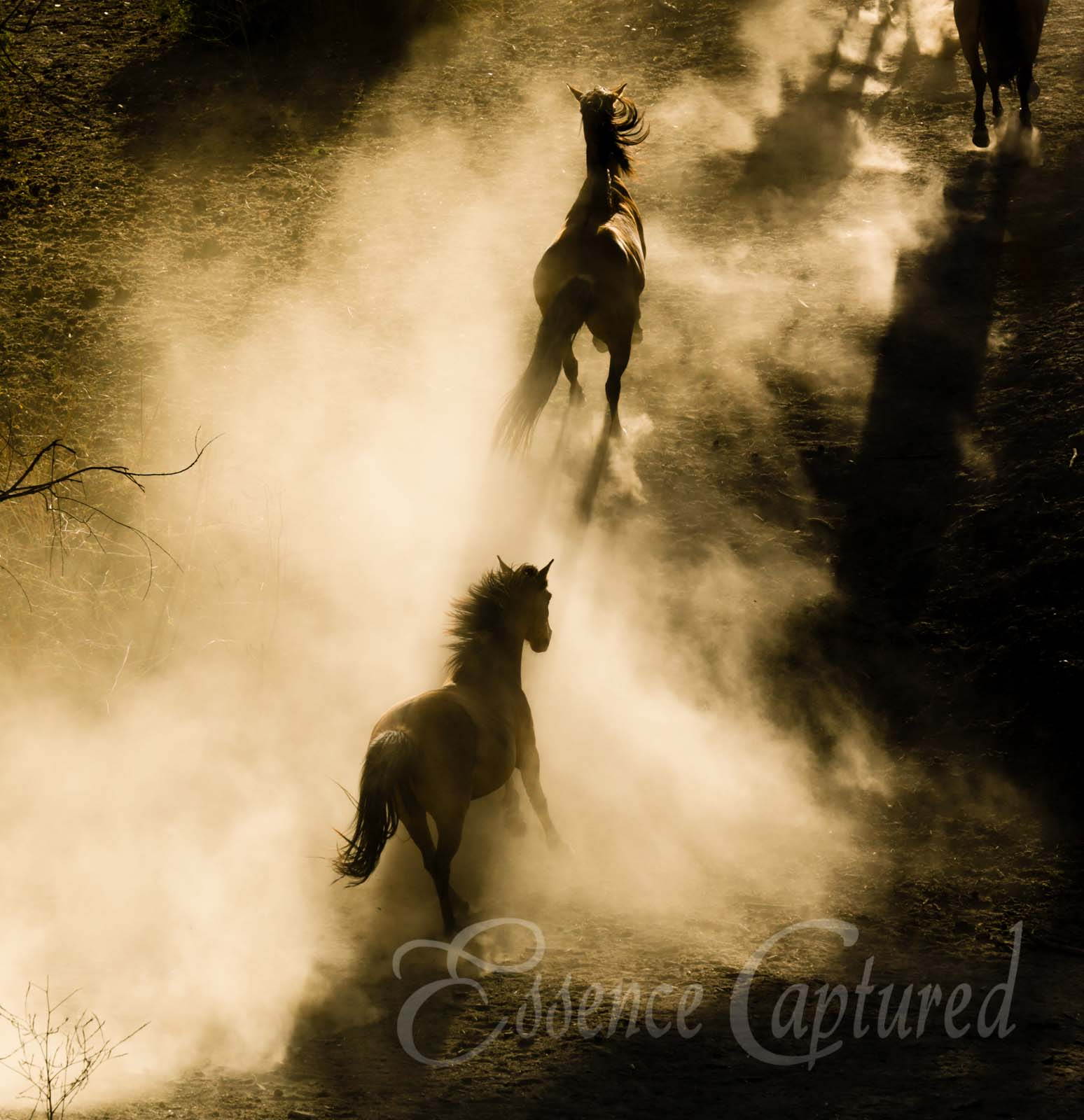 two wild horses mustangs running in dust golden light