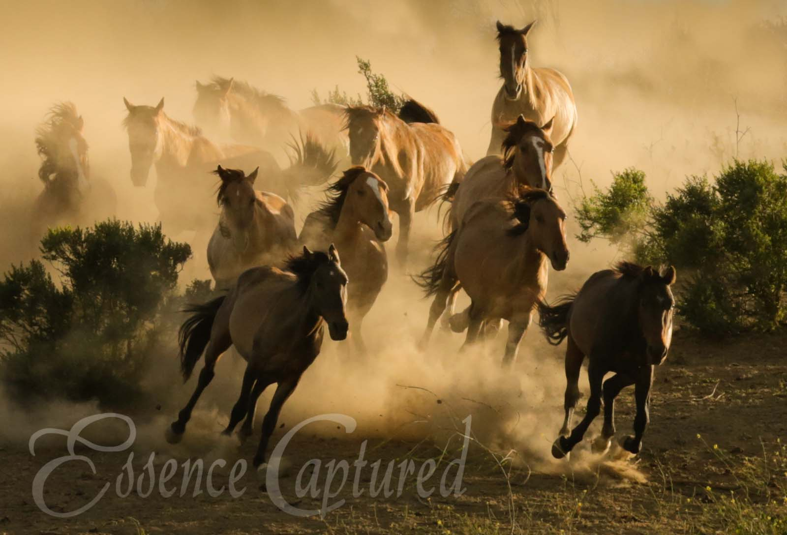 wild mustangs horses stampede dusty golden light