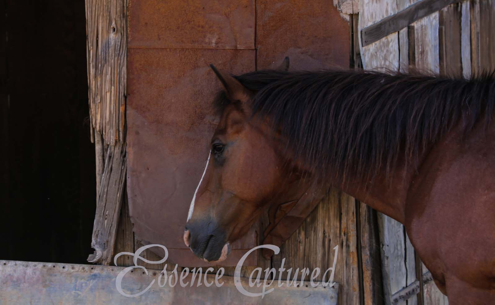 brown horse head and neck with old shed background