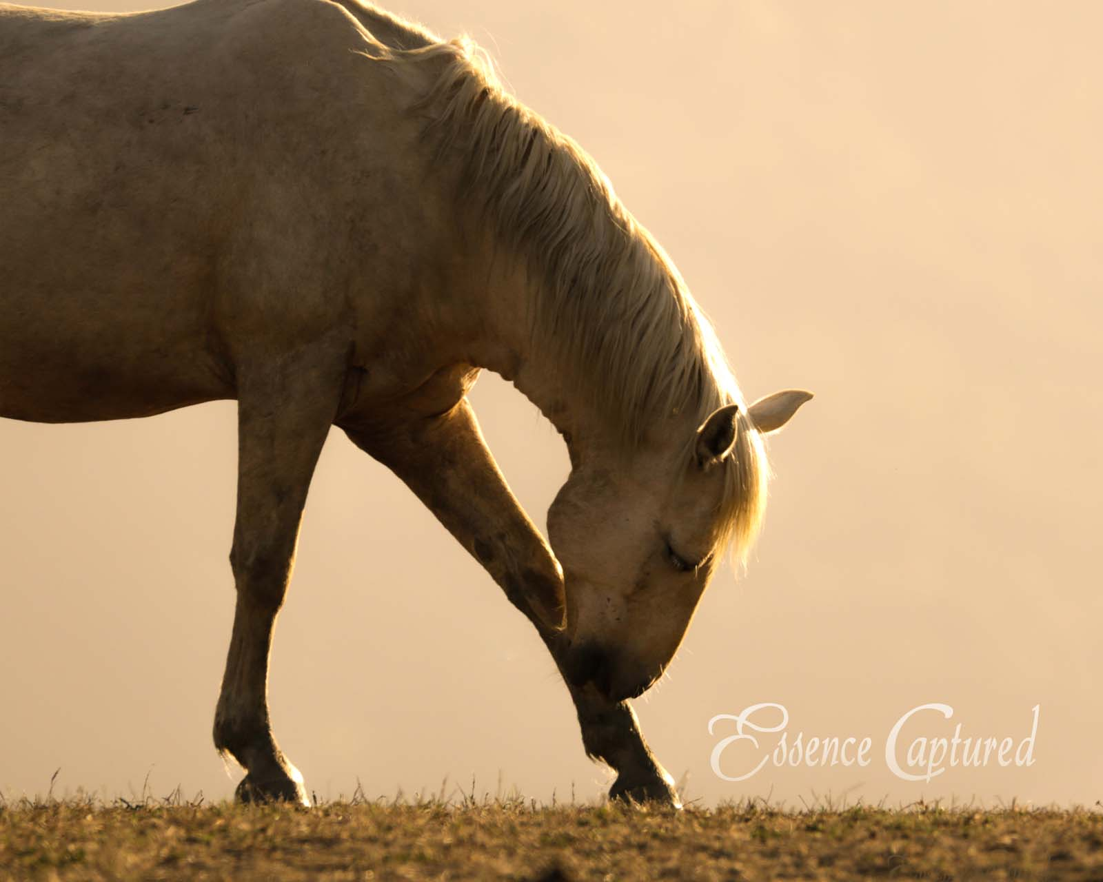 white horse silhouetted at sunset bending down to scratch leg with nose