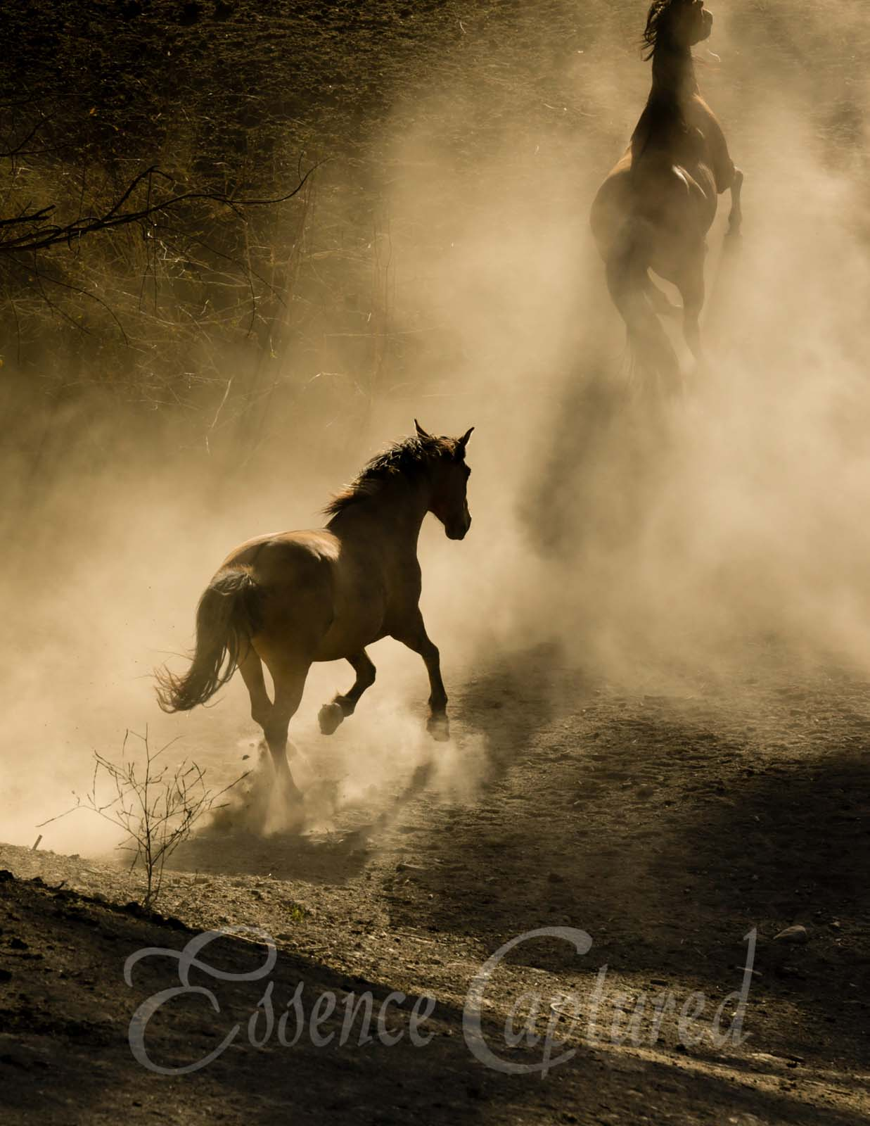 horses running dusty canyon golden light silhouettes wild mustangs