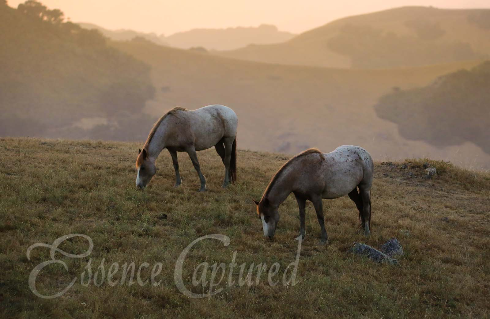 two mustang wild horses grazing at sunset with hills in background
