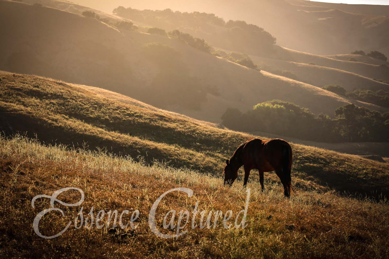 sillhouette of horse grazing on grassy hillside at sunset Prefumo Canyon wild mustangs