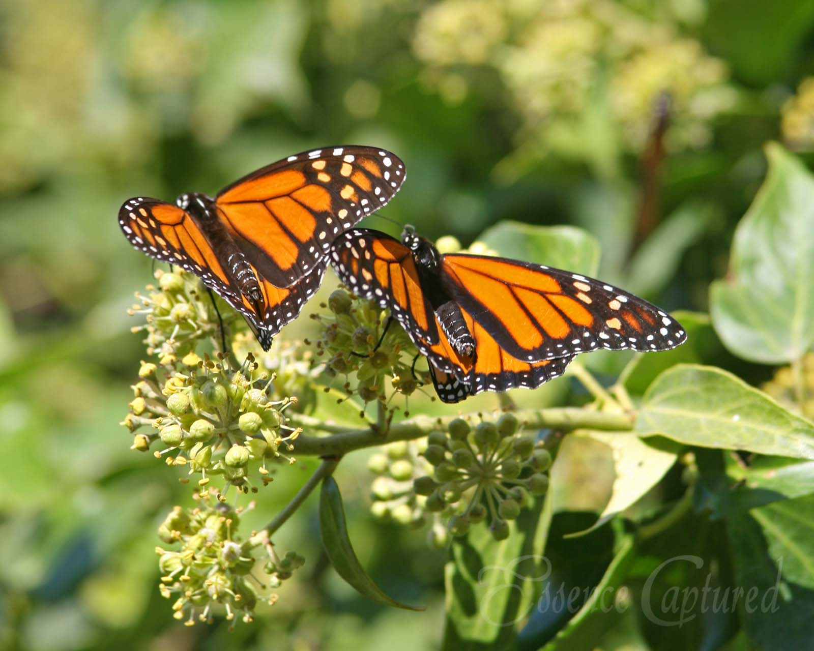 two monarch butterflies on ivy blossoms Pismo Beach Monarch Sanctuary