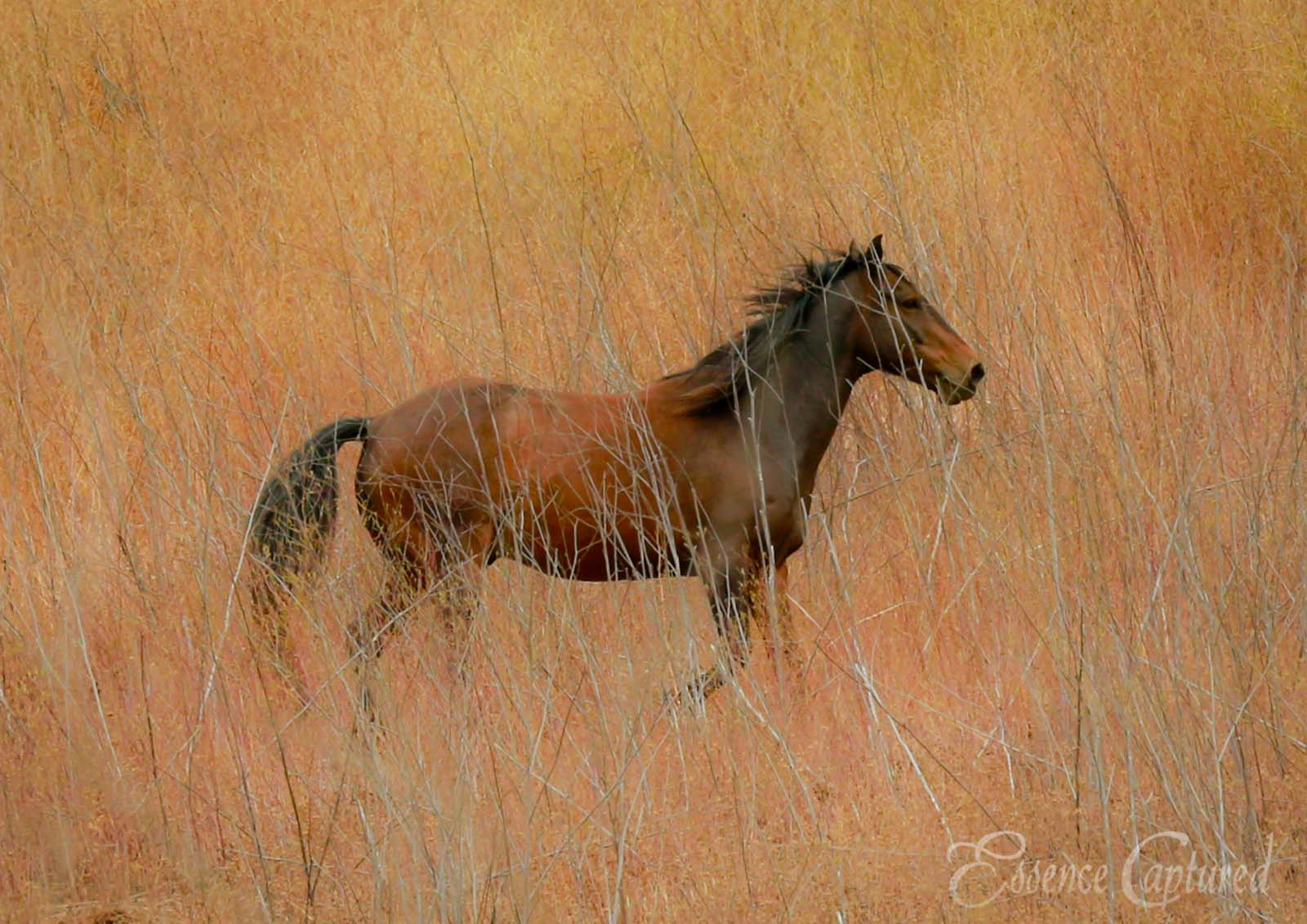 reddish brown colored horse running right on canvas of tall brush artistic