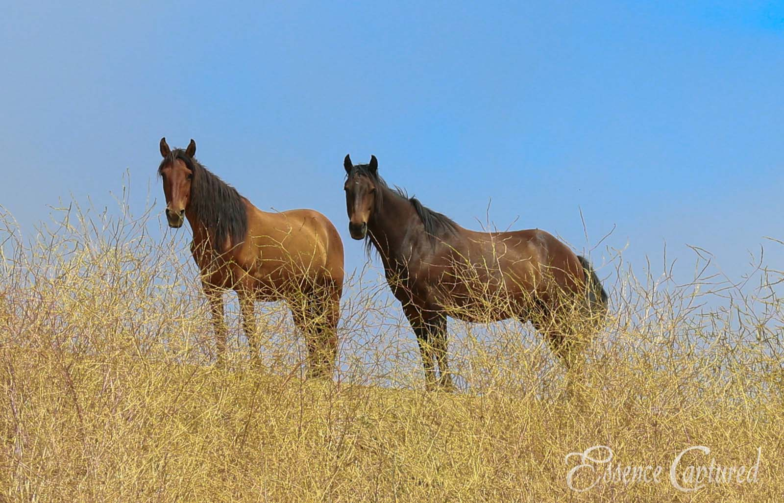 two brown horses standing on top of ridge behind tall golden sage brush and mustard