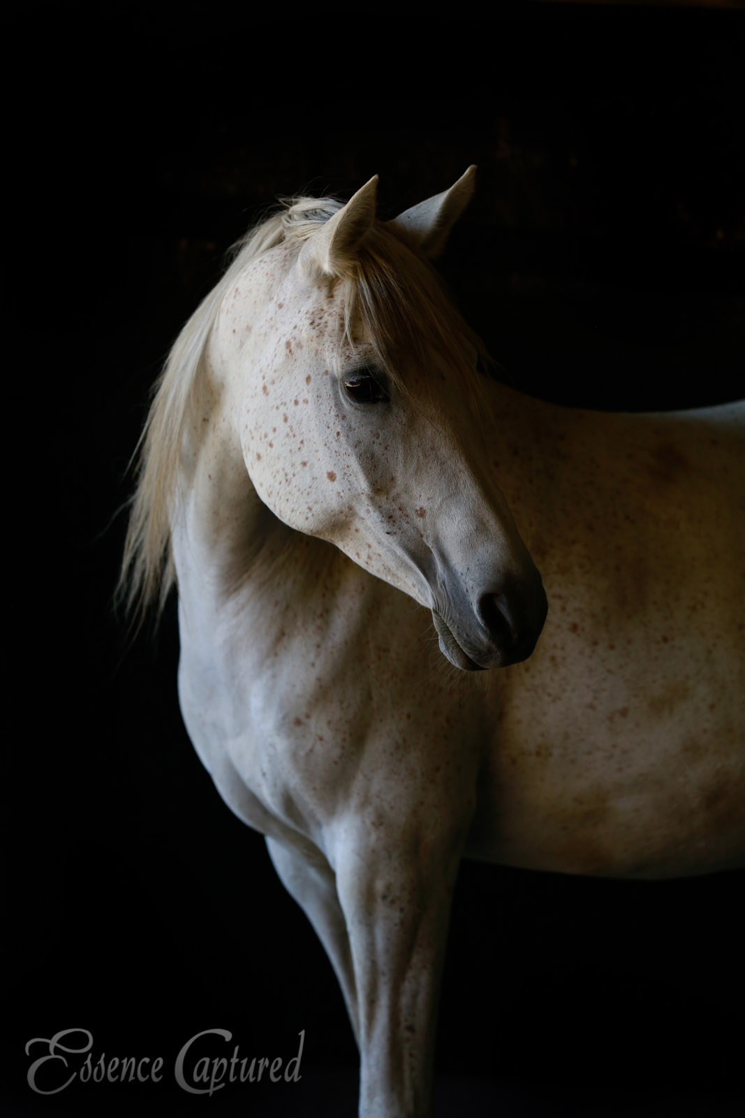 Shalla portrait of white horse with freckles daughter of Spirit