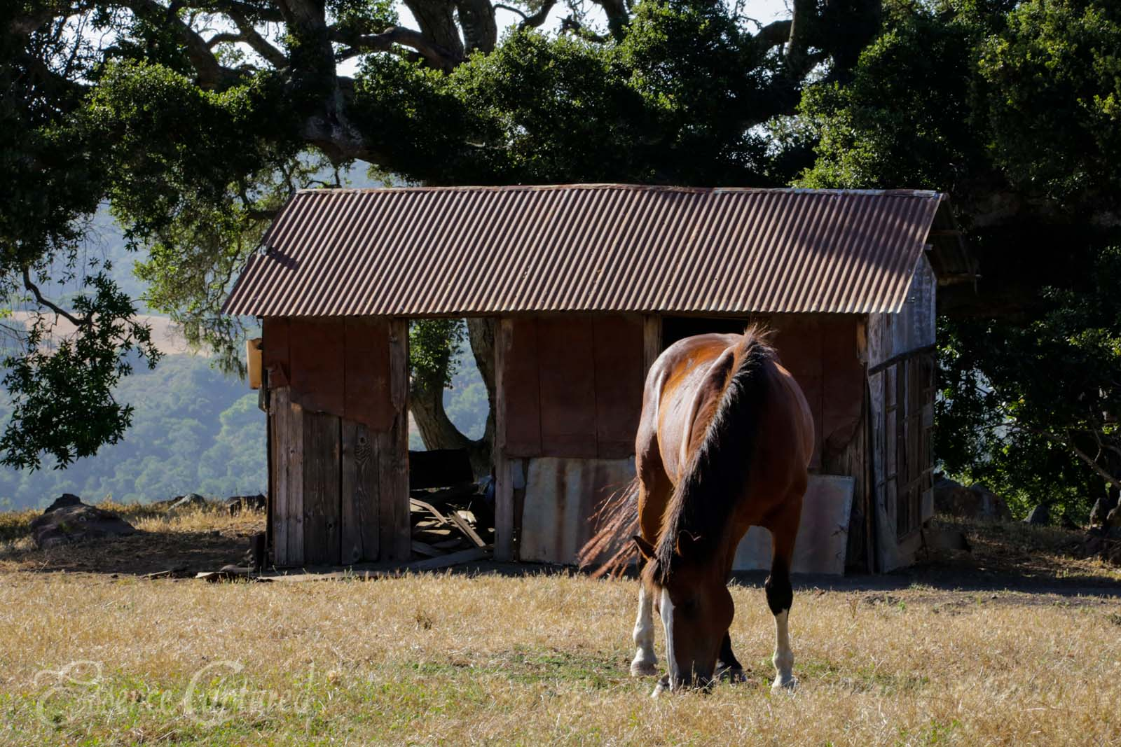 brown horse grazing in front of old shed with oak tree behind