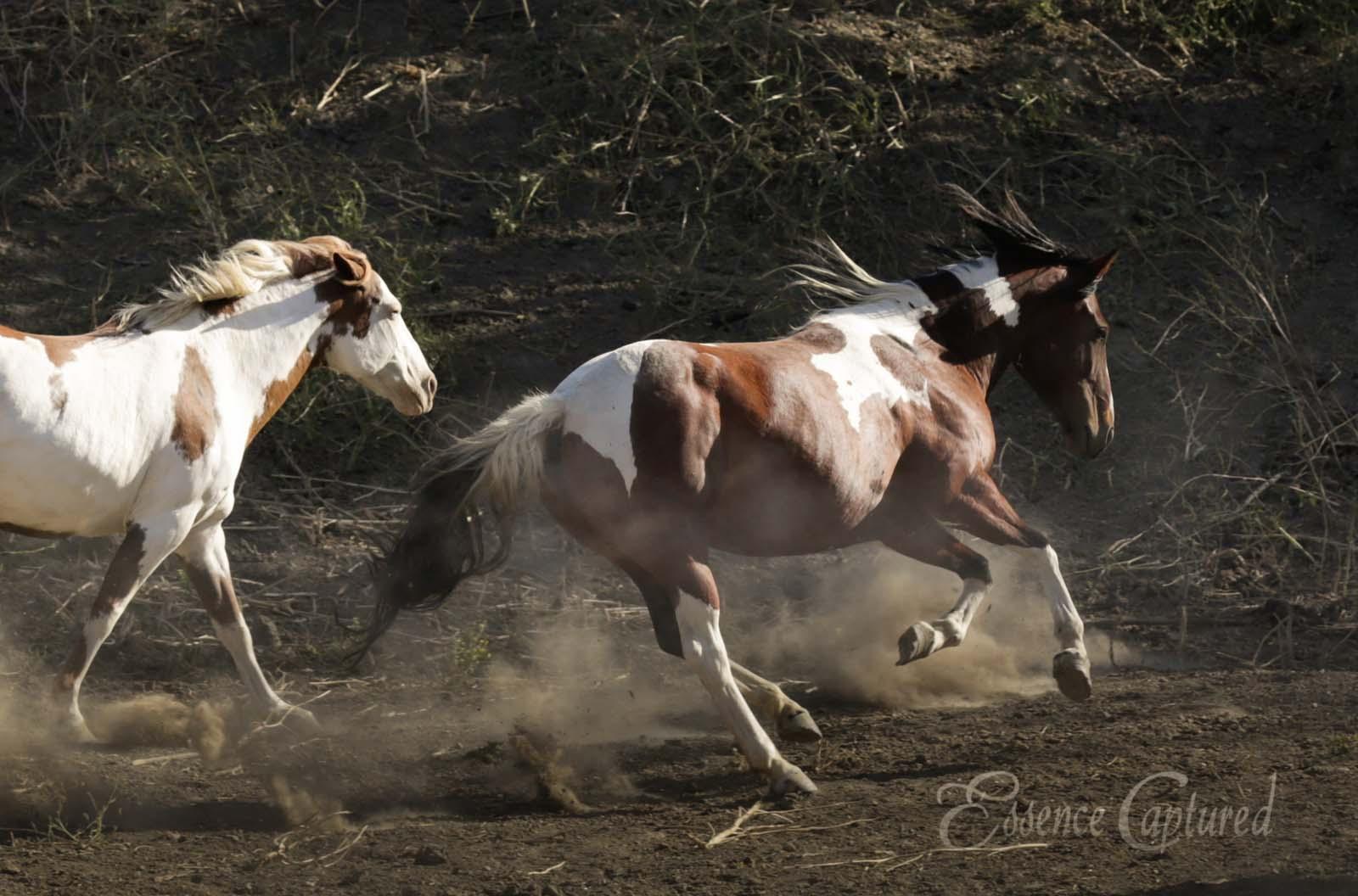 Paint Horses running