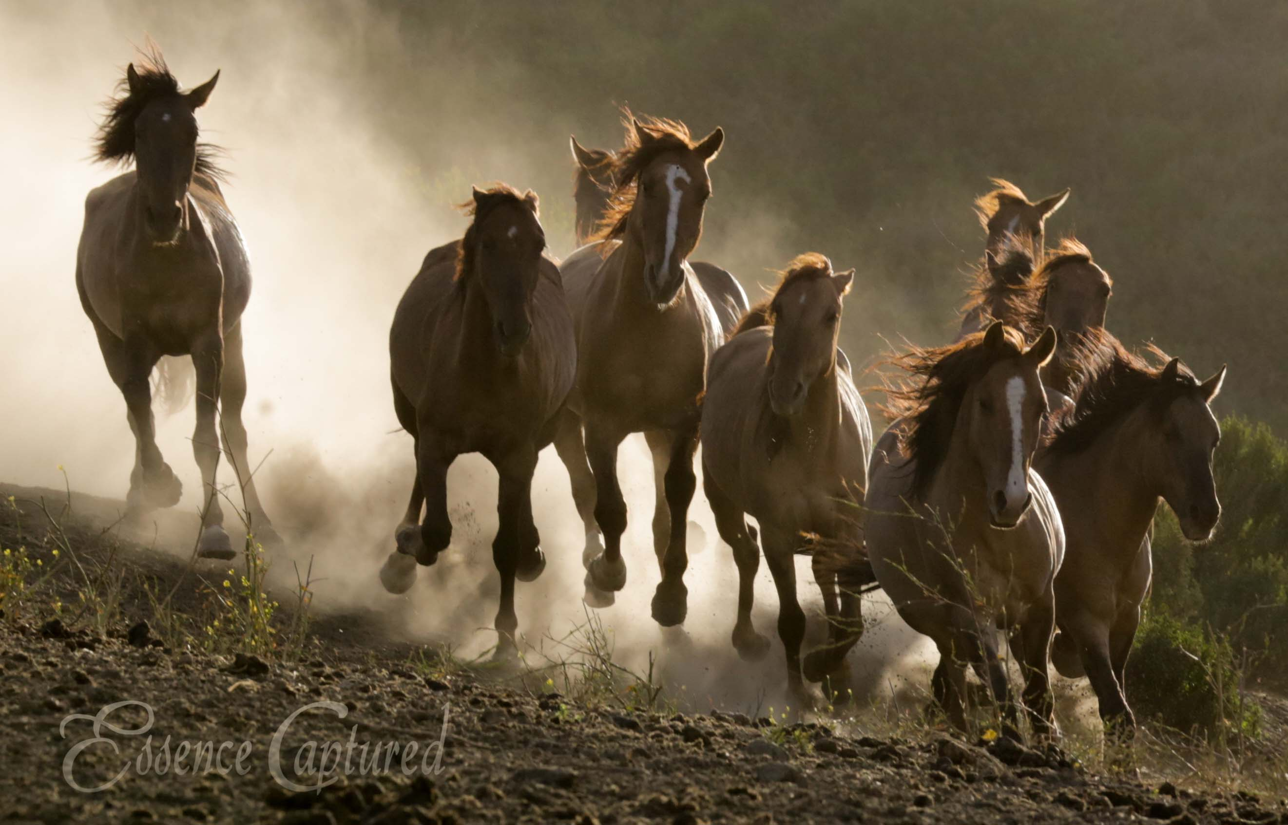 wild mustangs Gila Herd running at camera dusty