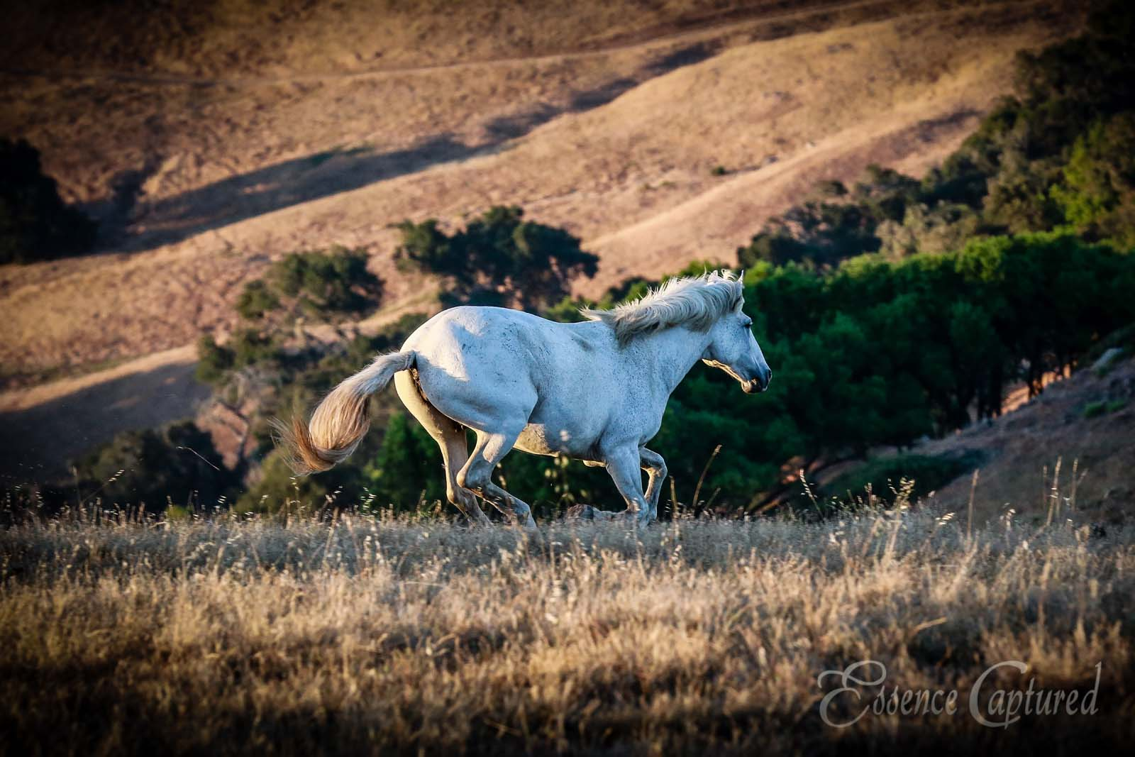 white horse running hills in background wild mustangs be free
