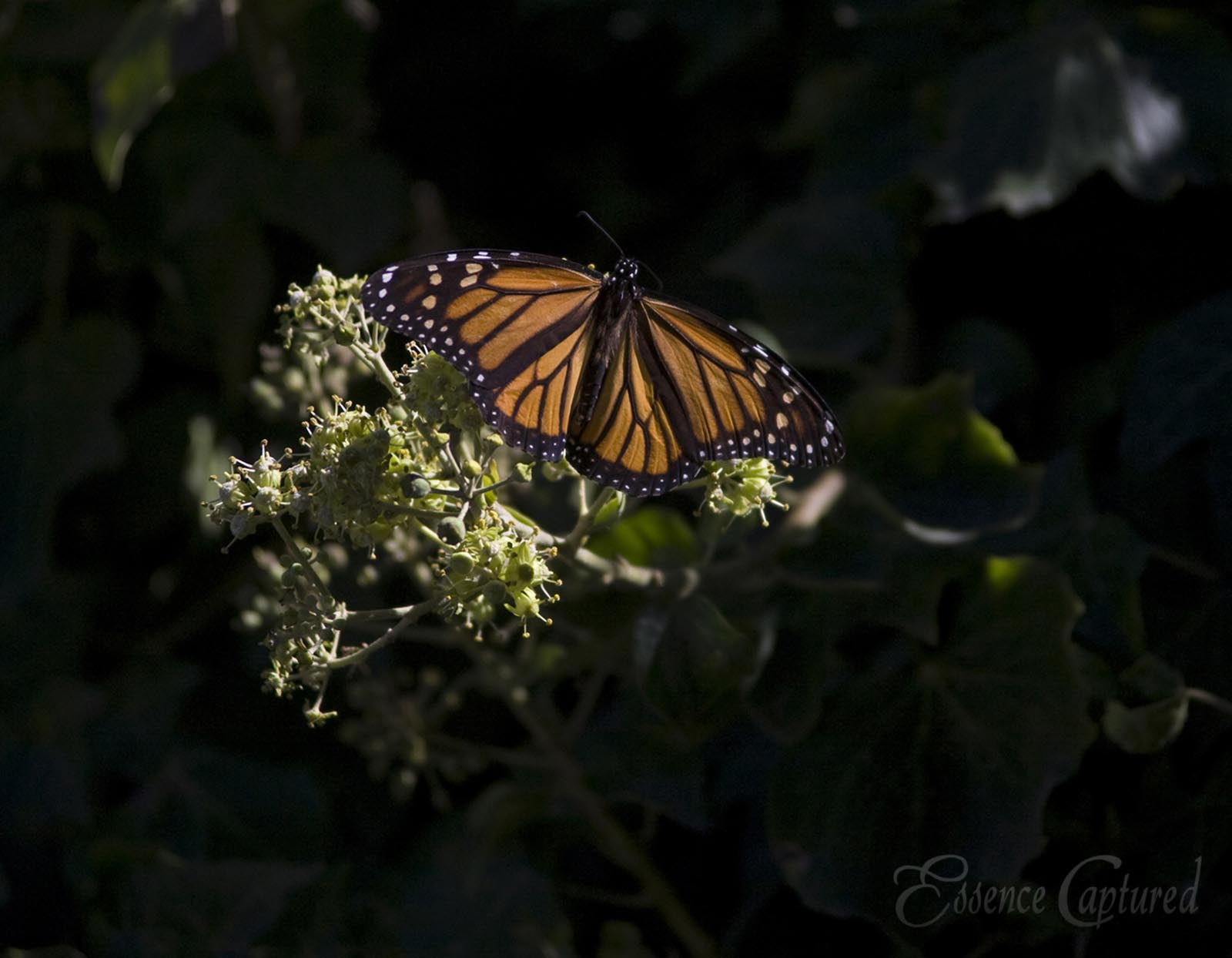 female monarch butterfly on ivy blossoms Pismo Beach Monarch Sanctuary
