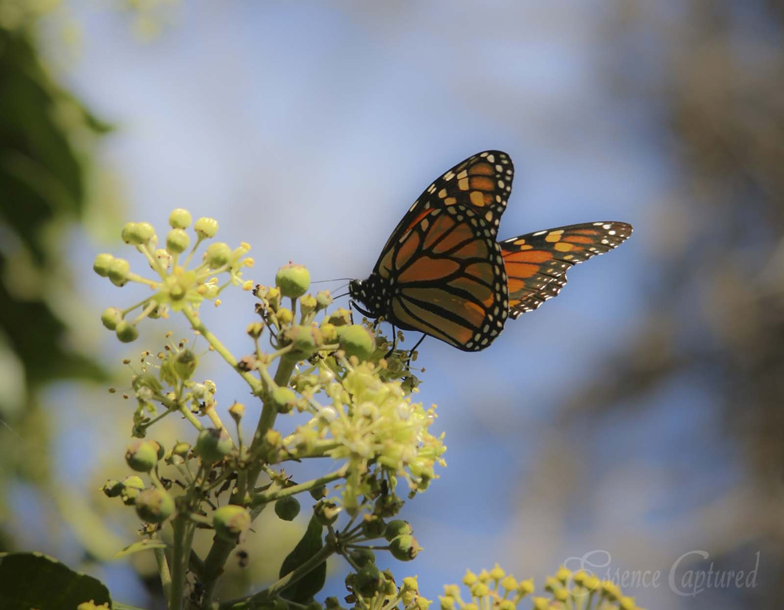 monarch butterfly on ivy blossoms Pismo Beach Monarch Sanctuary blue sky backdrop