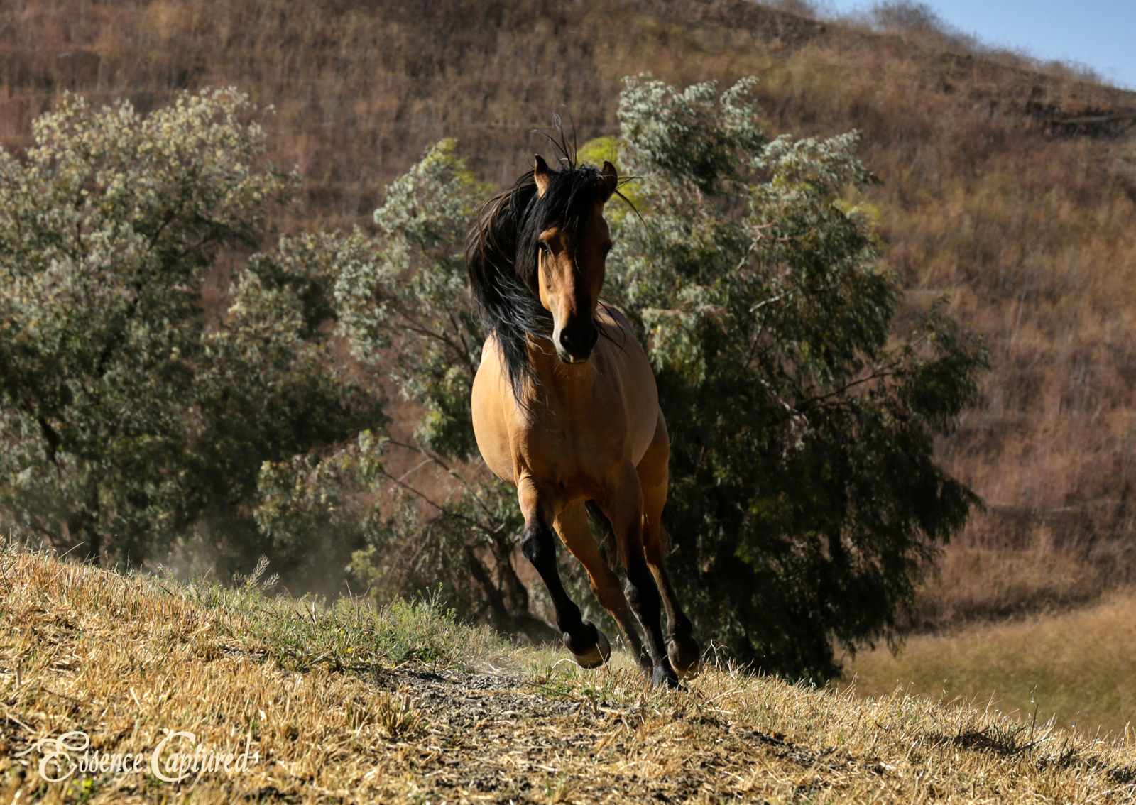 Spirit Stallion running in field at Return to Freedom in Lompoc