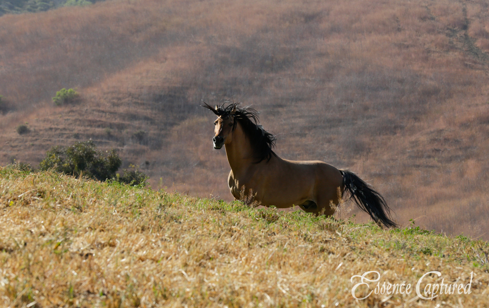 Spirit Stallion at Return To Freedom in Lompoc