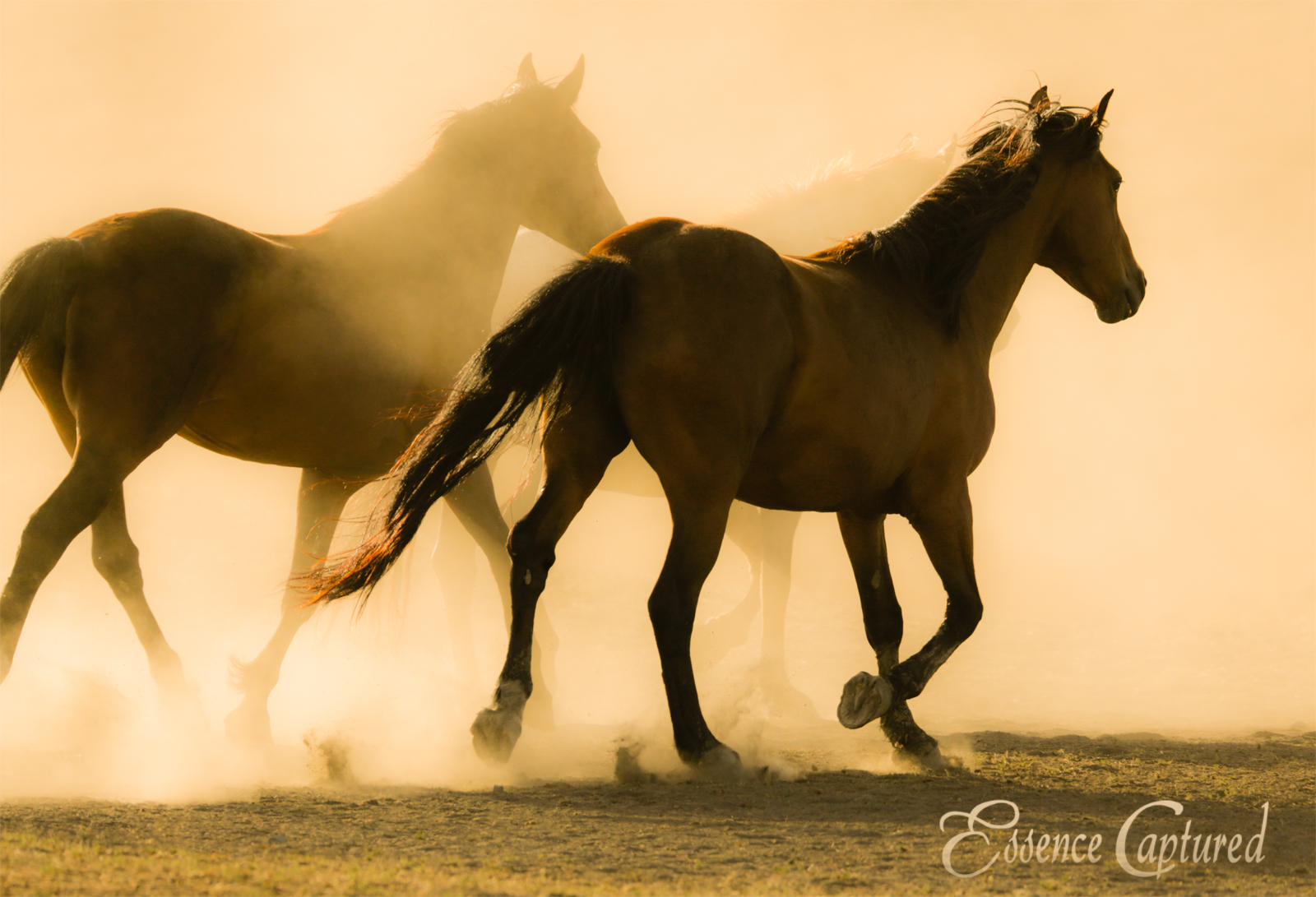 horses in golden sunlight