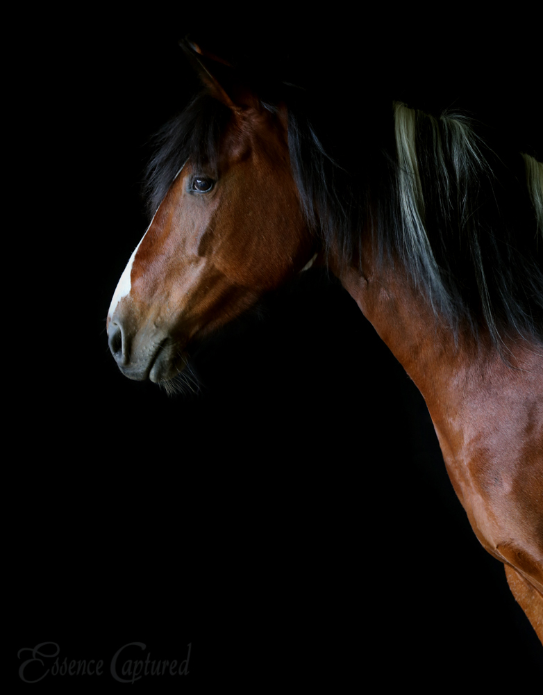 Choctaw Paint Stallion Portrait